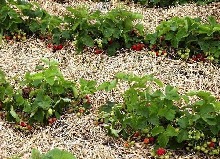 Чем удобрять клубнику осенью, чтобы не остаться без урожая