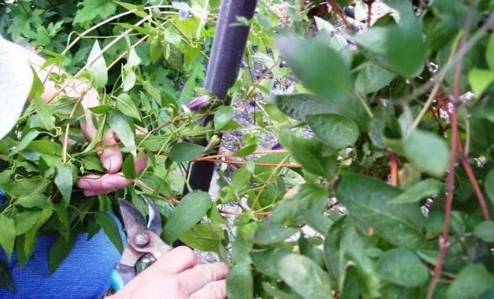 Размножение клематиса черенками осенью. как размножается клематис черенками летом