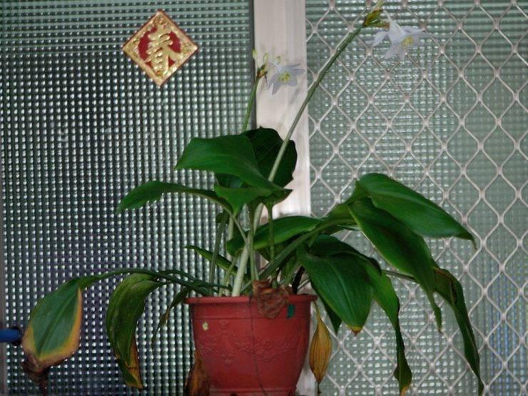 Эухарис (амазонская лилия): уход в домашних условиях, не цветет, отмирают, желтеют листья, что делать, пересадка