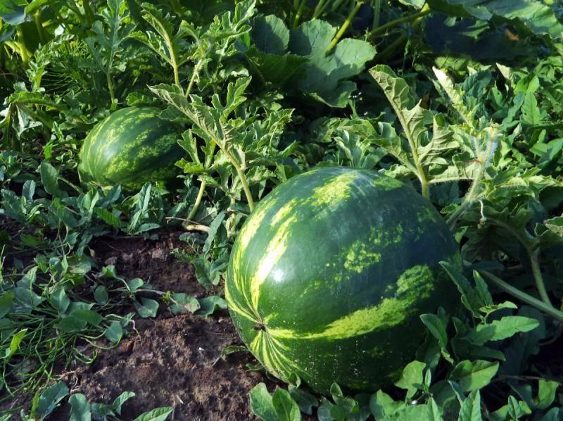 Арбуз: выращивание в открытом грунте, посадка на рассаду, болезни и вредители