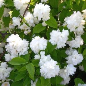 Чубушник (75 фото) - виды, посадка и уход за садовым жасмином
