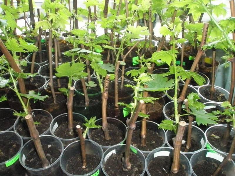 Укоренение черенков винограда: как сажать чубуки зимой в домашних условиях, основные методы