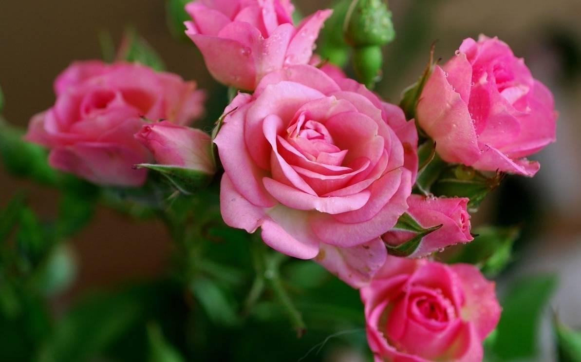 Кустовые розы: сорта с фото и названиями, посадка и уход