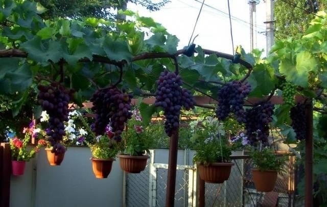 Виноград юпитер: описание и характеристика плодового кишмиша, технология выращивания и размножения, отзывы