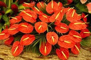 Как ухаживать за цветком антуриум (мужское счастье)