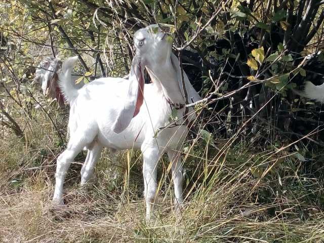 Описание и характеристика коз обморочной породы, правила содержания