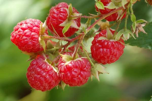 Как обеспечить постоянный урожай малины — схемы обрезки типовые и инновационные