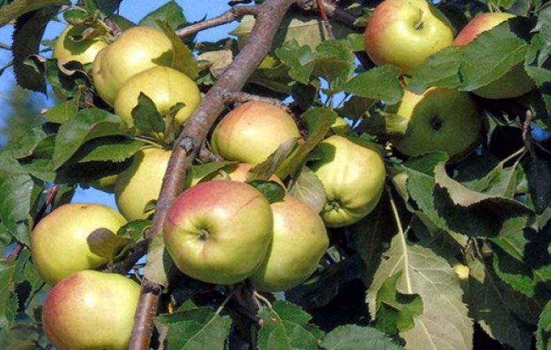 Яблоня «чудное»: описание сорта, фото, отзывы