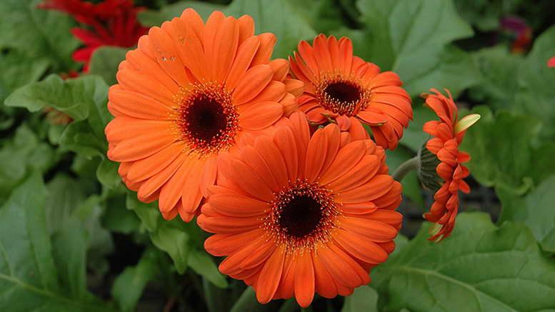 Гербера садовая - посадка, уход, болезни, размножение и уход в сибири