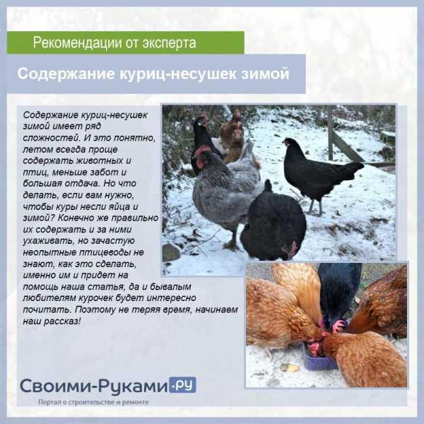 Чем нужно кормить кур зимой