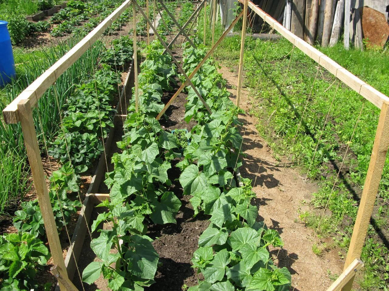 Выращивание огурцов: особенности посадки и секреты ухода в открытом грунте