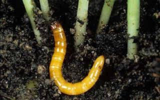 Как избавиться от проволочника в картошке осенью и не позволить ему перезимовать