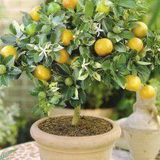 Способы прививки лимона в домашних условиях