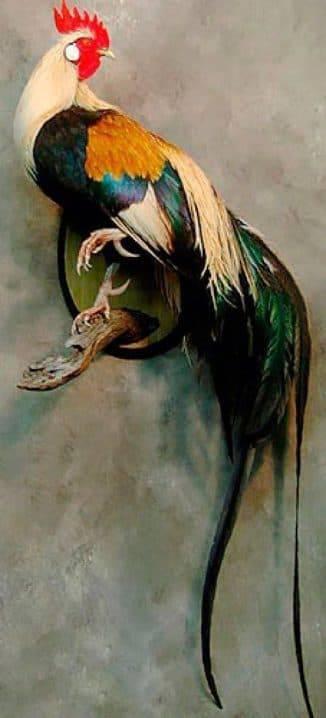 Феникс описание породы кур, особенности их содержания