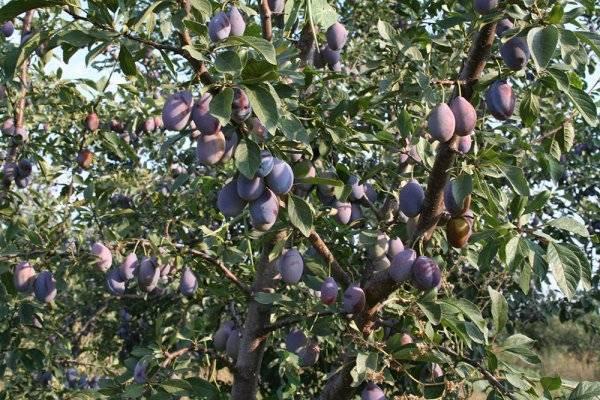 Особенности выращивания сливы сорта богатырская