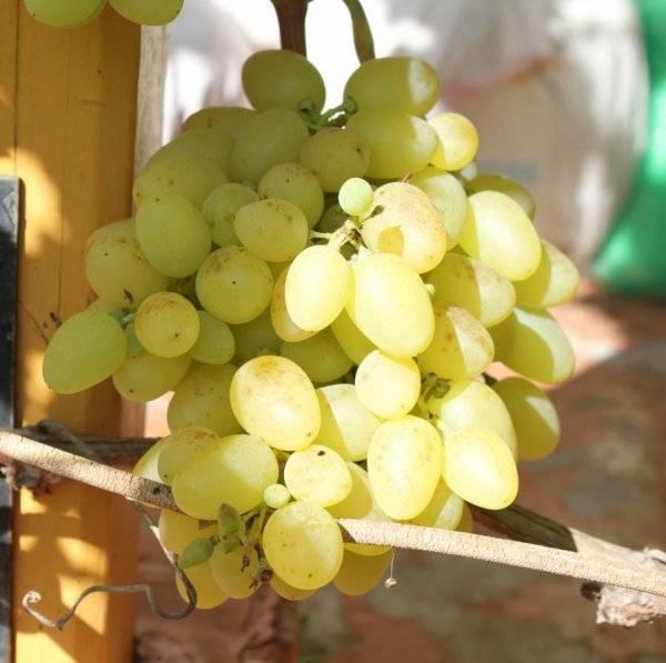 Виноград надежда азос - описание сорта, фото, отзывы