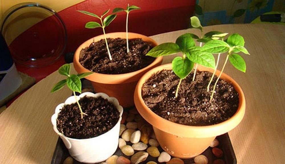 Хурма – выращивание из косточки в домашних условиях