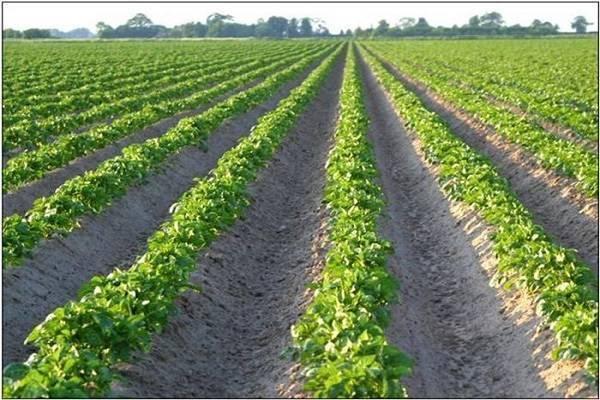 Определение нормы посадки картофеля на 1 га или на сотку: сколько нужно и от чего зависит расход?