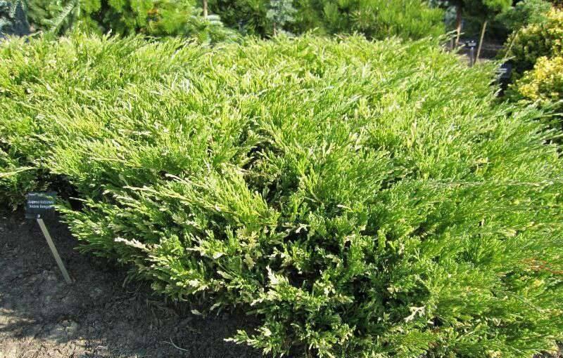 Можжевельник казацкий вариегата (variegata): описание с фото, посадка и уход, использование в ландшафтном дизайне