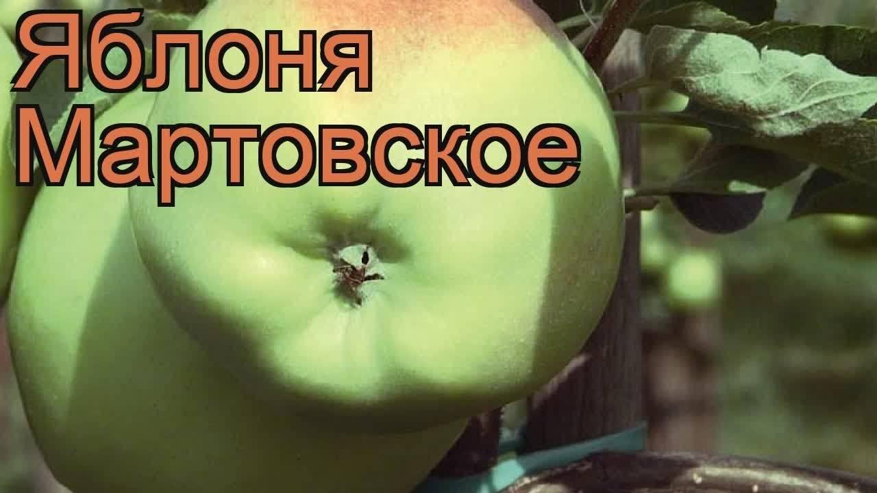 Яблоня мартовское: описание и характеристика, достоинства и недостатки, посадка и уход, фото