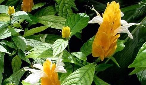 Белопероне в доме: условия по уходу, основные виды цветка и способы размножения