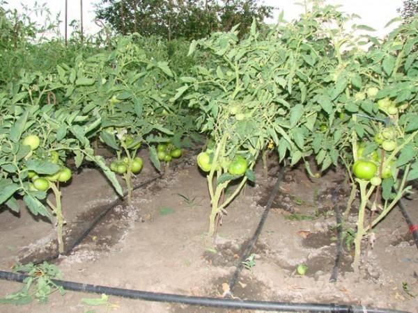 Капельный полив томатов бутылками и не только: как правильно устроить систему