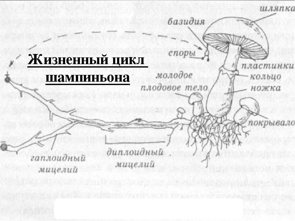 Описание и характеристика плодового тела гриба