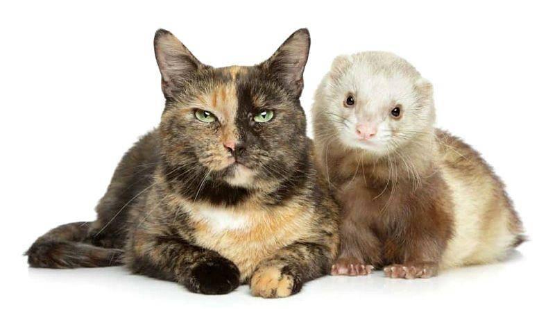 Домашний хорек и кошка: уживаются ли хорьки с кошками, котами в одном доме?