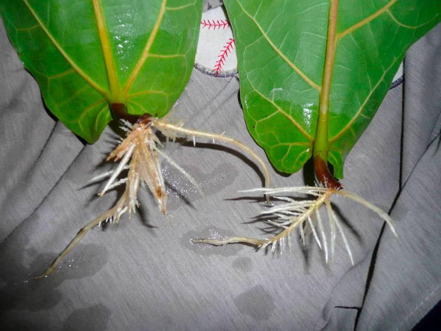 Лировидный фикус: топ секреты ухода и размножения, болезни