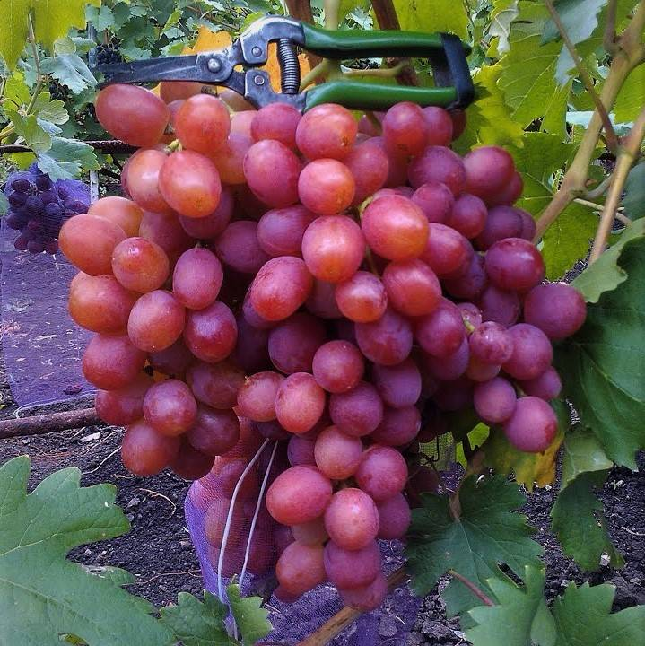 Принц виноградников — сорт ланселот