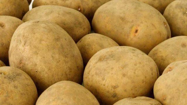 Сорт картофеля ласунок: характеристика, описание с фото, отзывы