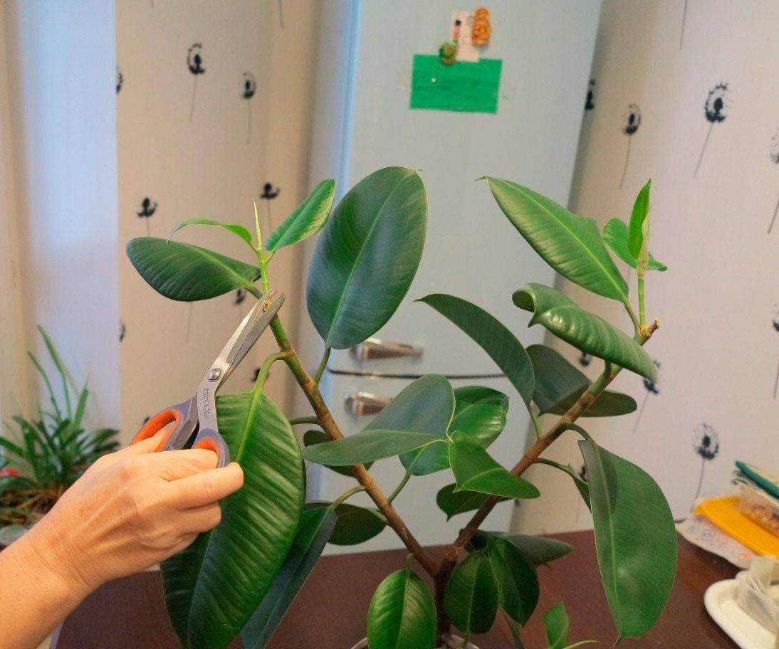 Пошаговая инструкция по пересадке фикуса в домашних условиях