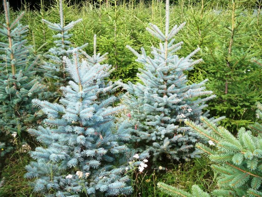 Голубая ель из семян в домашних условиях: трудности и нюансы выращивания