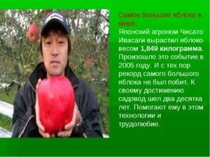 Сколько весит одно яблоко: среднего размера, маленькое и большое