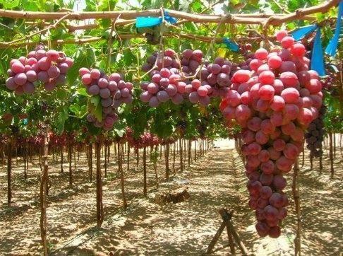Сверхранний сорт винограда кишмиш запорожский