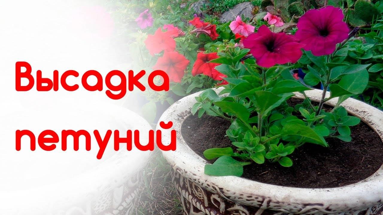 Правильная рассада петунии - 5 шагов до хорошей рассады петуний | красивый дом и сад