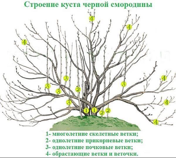 Обрезка смородины осенью для начинающих сроки (пошагово)