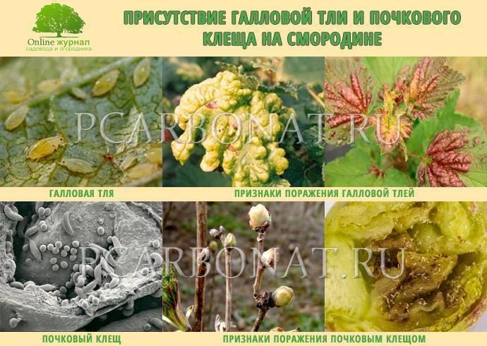Почему желтеют листья у смородины: причины, что делать