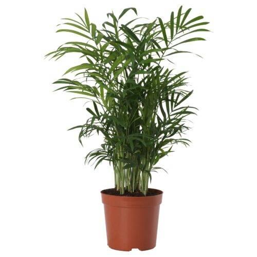 Пальма хамедорея: уход в домашних условиях, фото цветения, особенности размножения, польза selo.guru — интернет портал о сельском хозяйстве