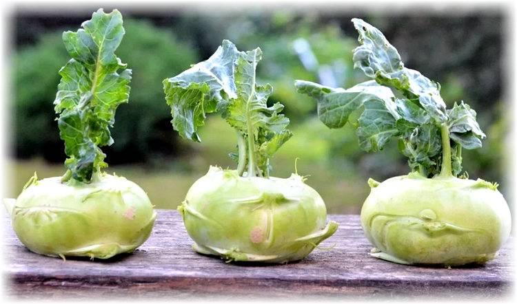 Как вырастить капусту кольраби в открытом грунте