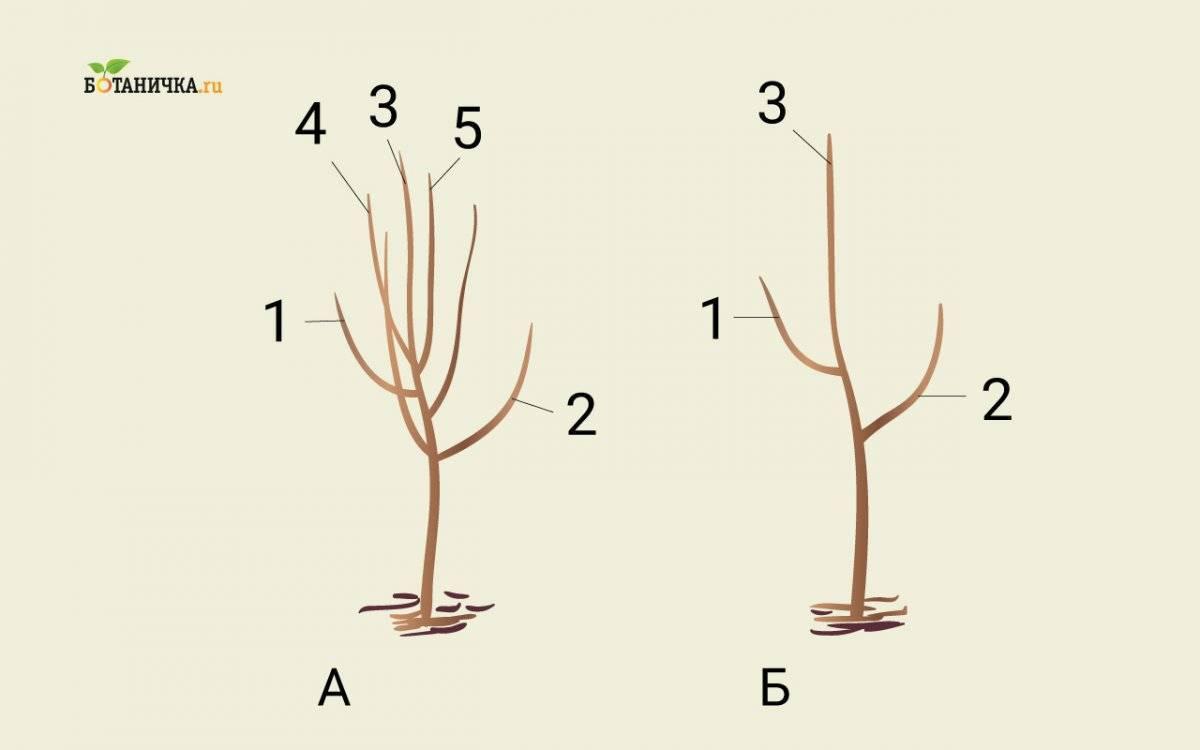 Обрезка яблони: как правильно ее проводить и когда, схемы, приёмы, методы