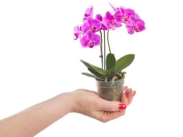 Выращивание орхидеи Камбрия