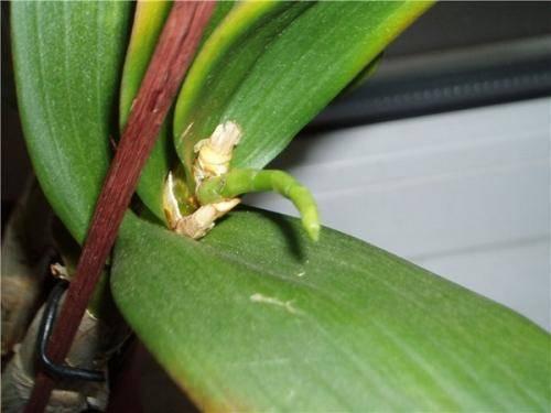 Почему в домашних условиях не цветёт орхидея: причины, способы устранения проблемы и режим цветения