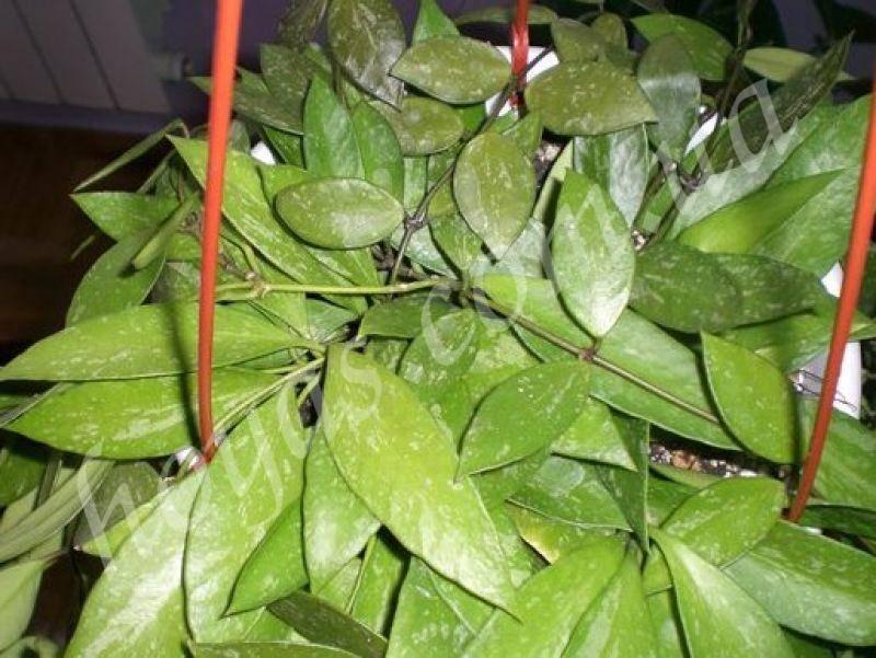 Хойя линеарис — особенности выращивания и ухода