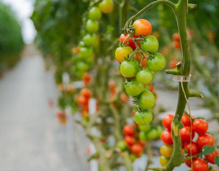 Подкормка томатов: чем подкормить помидоры для повышения урожайности