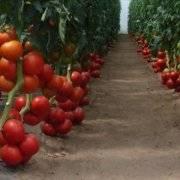 Выращивание и правильная посадка кабачков в открытом грунте семенами и рассадой