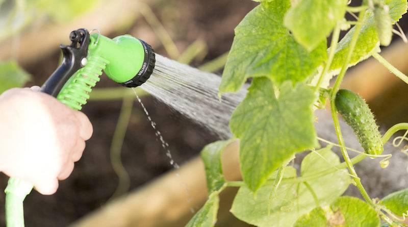 Полив огурцов в теплице и открытом грунте: как часто поливать в жару и холодную погоду, когда прекращать, нормы и сроки