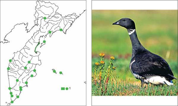 Казарка птица. образ жизни и среда обитания птицы казарки | животный мир