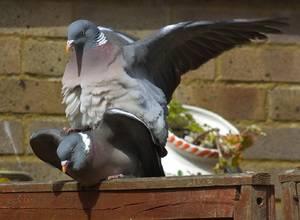 ✅ сколько дней голуби высиживают яйца: как происходит яйцекладка, как часто голуби размножаются - tehnoyug.com