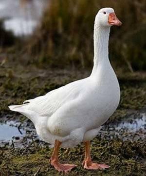 Датские гуси легарт (18 фото): описание породы, разведение гусят